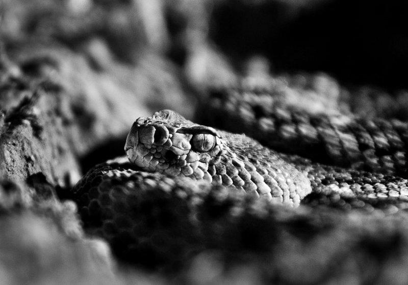 Western diamondback rattlesnake. Crotalus atrox. IMG_9712-2.jpg