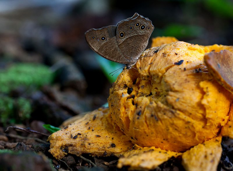 Butterfly feeding on eggfruit. IMG_9037.jpg