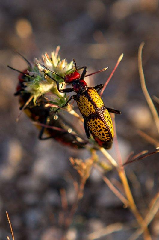 Iron Cross blister beetle feeding on a flower. IMG_7511.jpg