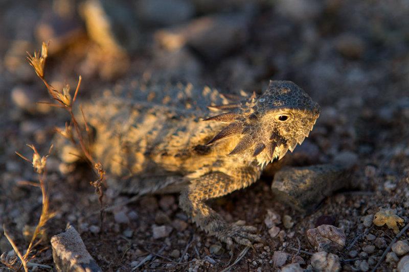 Regal horned lizard. IMG_7532.jpg