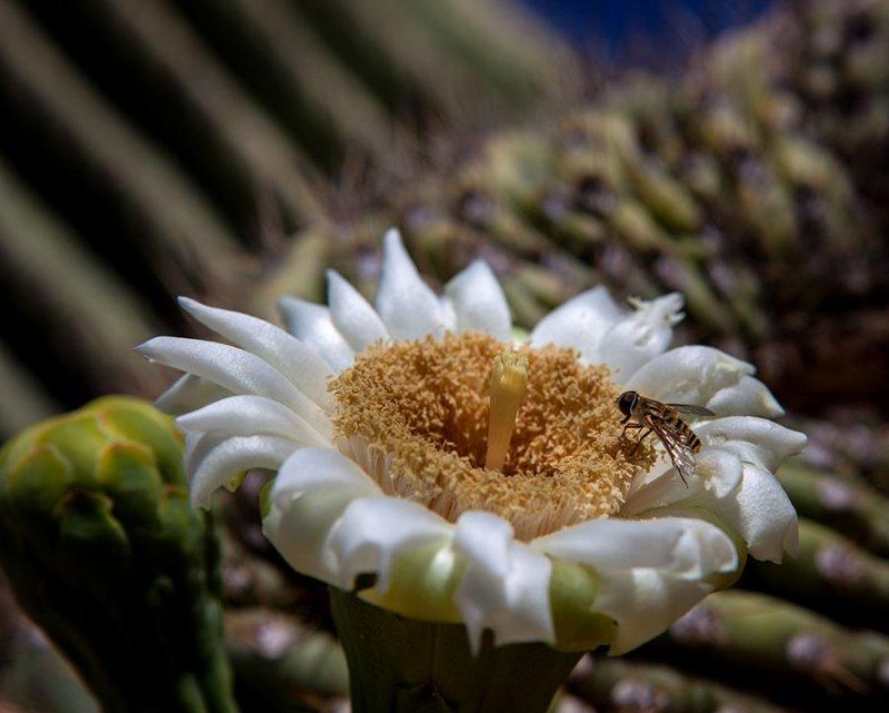 Saguaro Cactus bloom. Tortolita Mountains. IMG_1297.jpg
