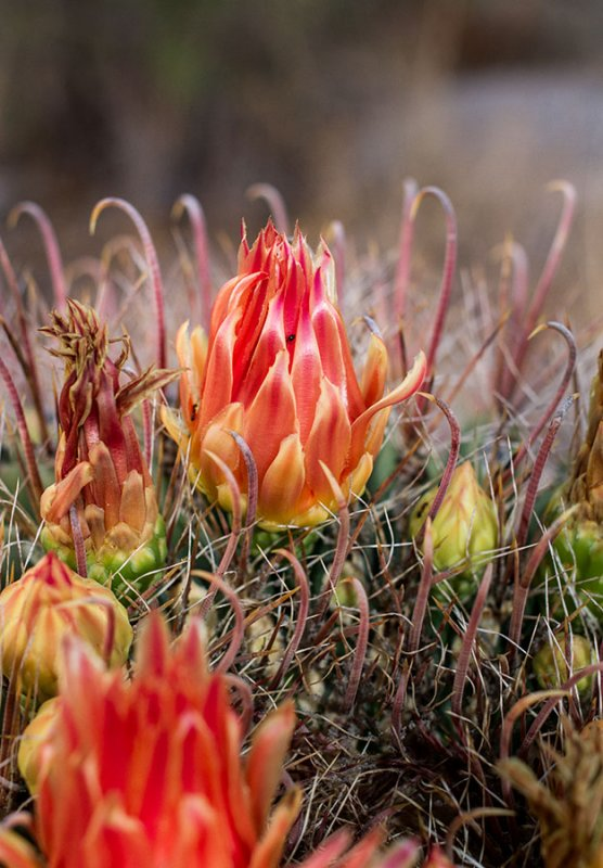 Cactus flower. IMG_8378.jpg