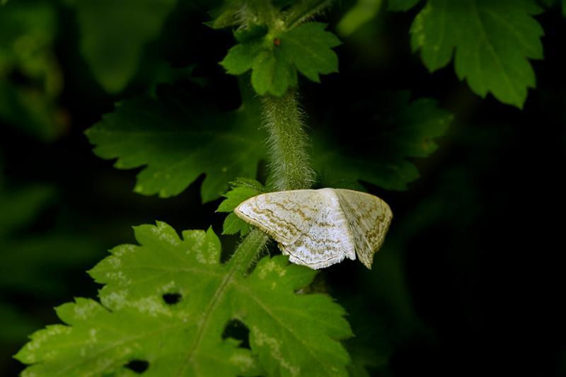 Moth on plant. Wuling Mts., Jishou, Hunan, China