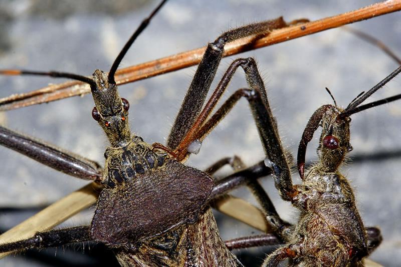 Some of the piercing sucking bugs. Order Hemiptera, Jishou area, Wuling Mts., Hunan, China.