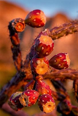 Cactus fruit maturing. IMG_7691.jpg