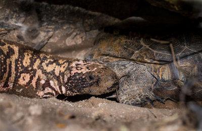 The Gila after eating the tortoise eggs. IMG_8472.jpg