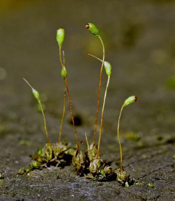 Moss capsules.
