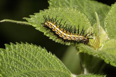 Spiny caterpillar. Jishou City area, Wuling Mts., Hunan Province, China