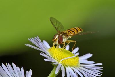 Eating. Diptera