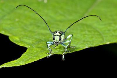 Holstein Coleoptera