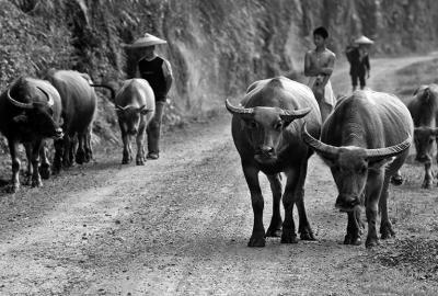 Bringing home the buffalo.