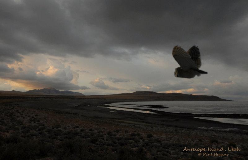 Antelope Island-Barn Owl