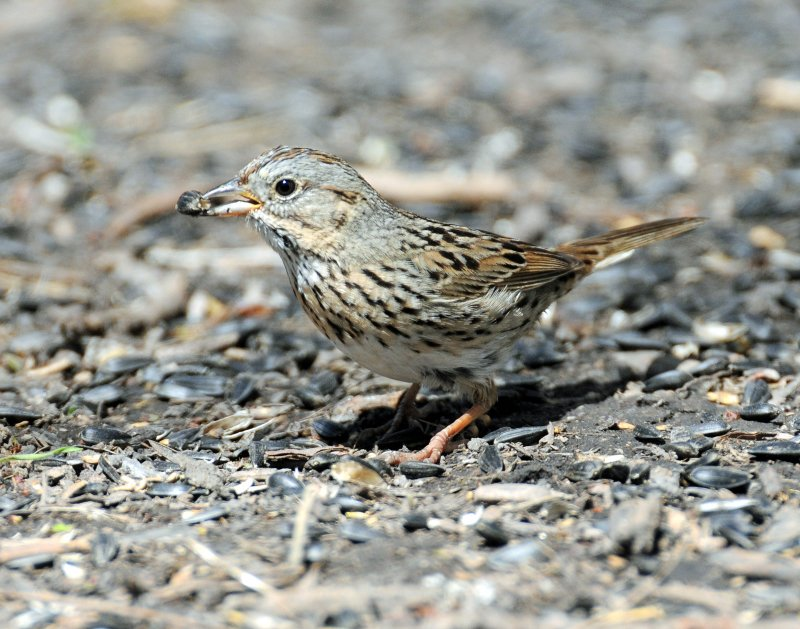 Sparrow, Lincolns