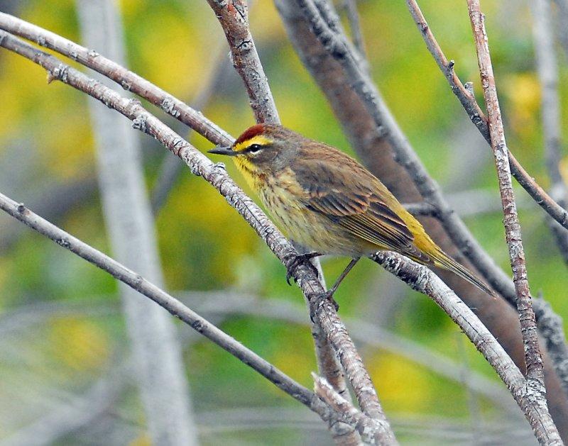 Warbler, Palm