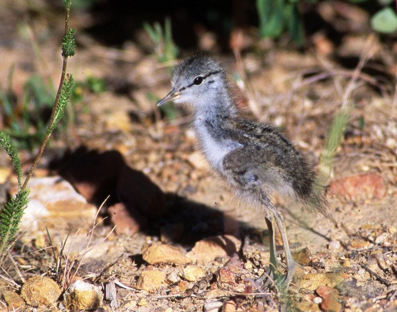 Sandpiper, Spotted