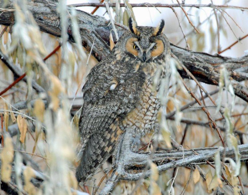 Owl, Long-eared