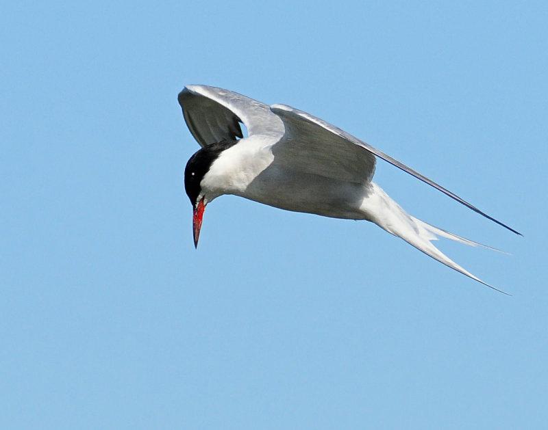 Tern, Common