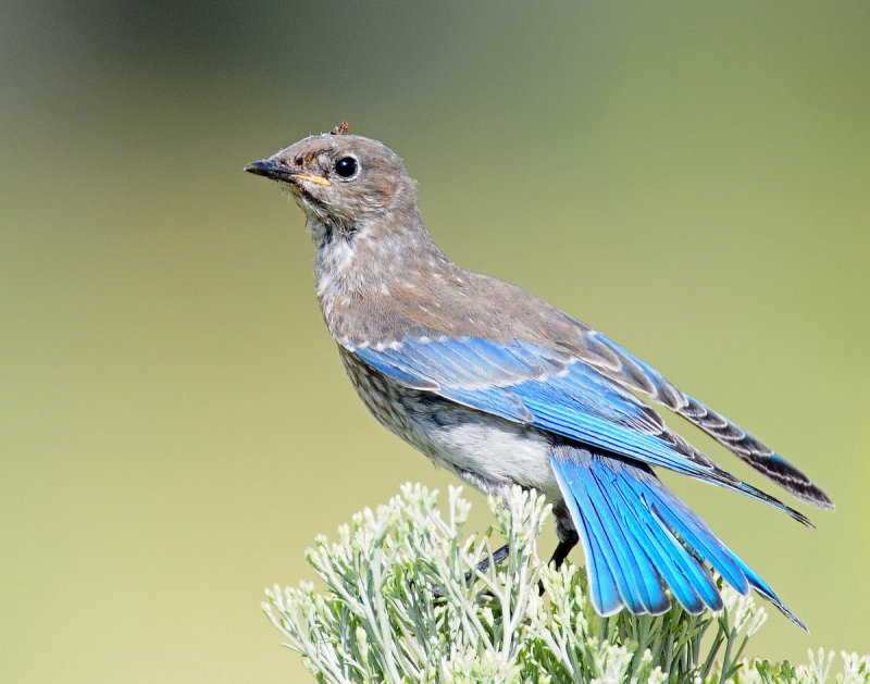 Bluebird, Mountain (Juvenile)