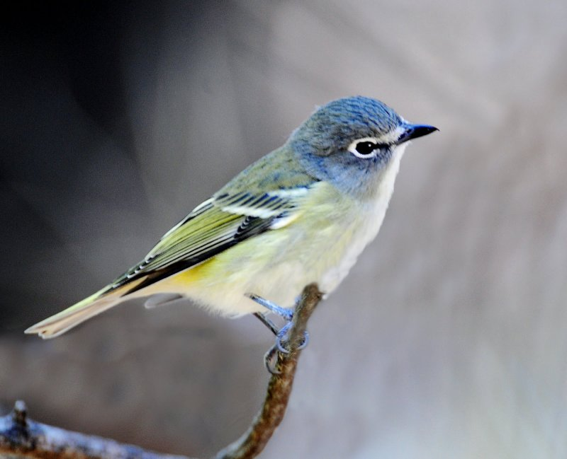 Vireo, Blue-headed