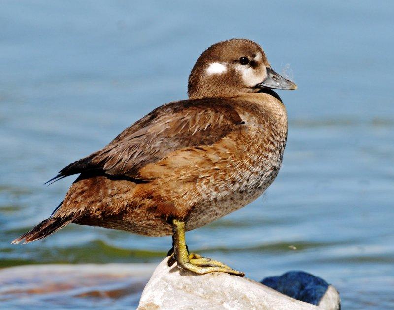 Duck, Harlequin (Juvenile Male)