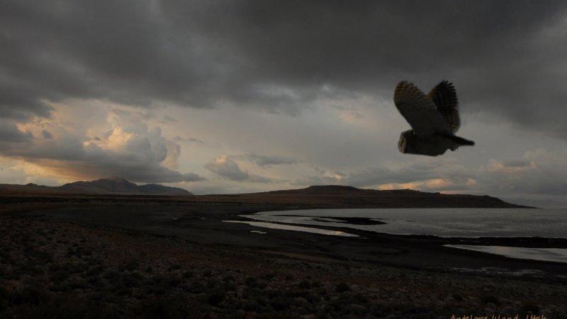 Barn Owl / Antelope Island