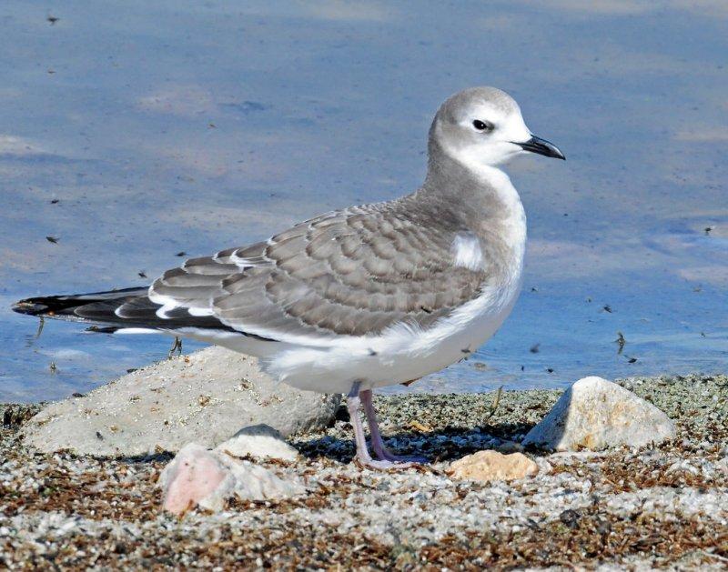 Gull, Sabines