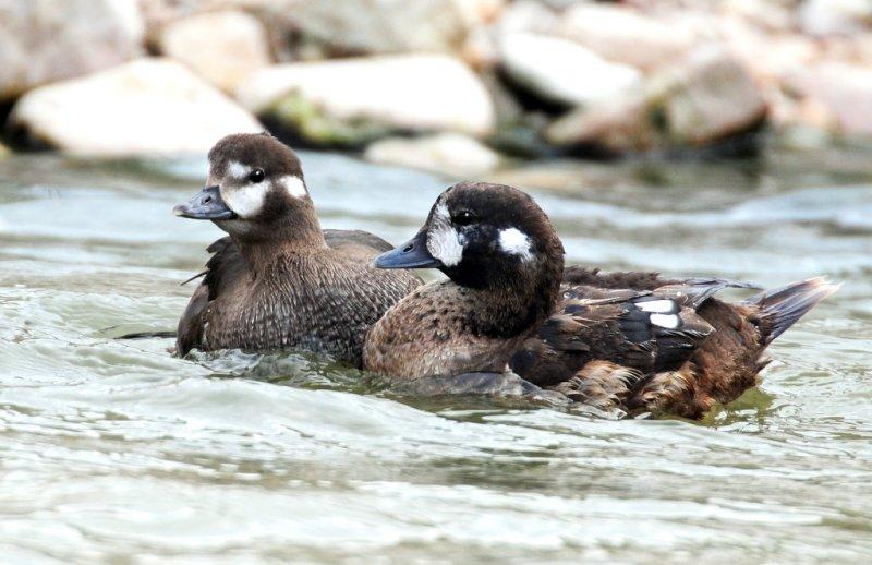 Duck, Harlequin (10-25-2011)