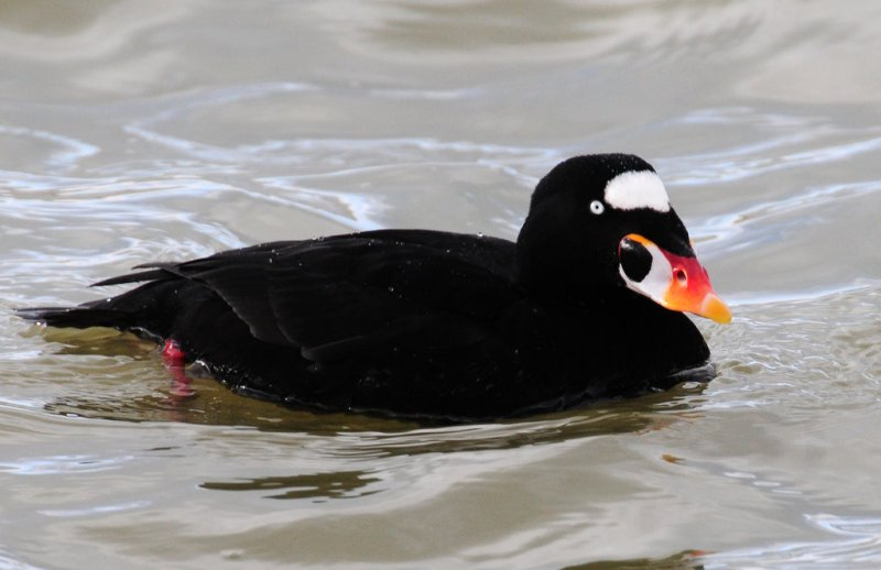 Scoter, Surf (Male--Breeding Plumage)
