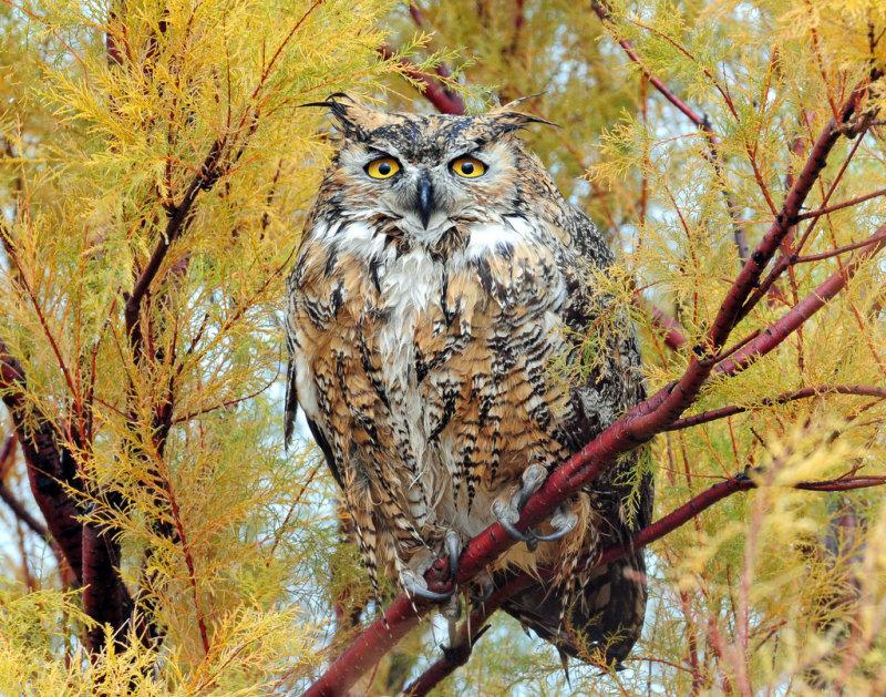 Owl, Great Horned