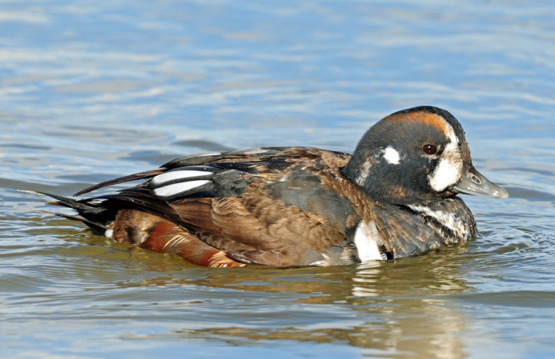 Ducks, Harlequin (11-15-2011)
