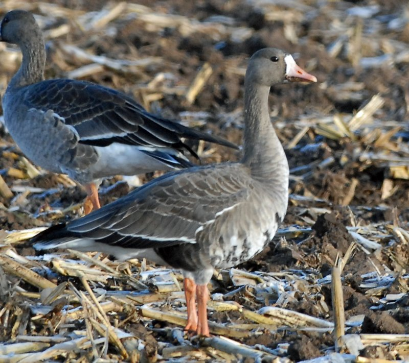 Geese, Greater White-fronted
