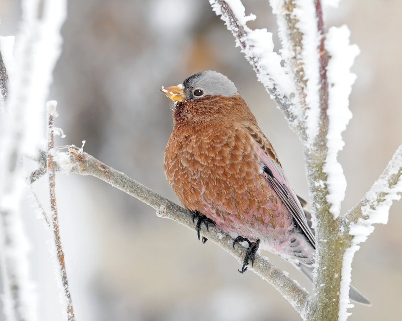 Rosy Finch, Gray-crowned