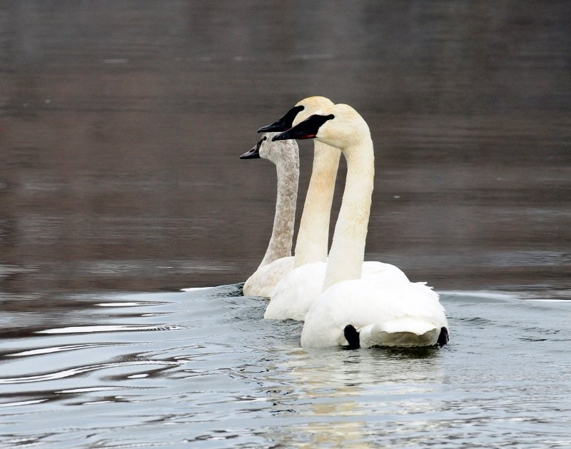 Swans, Tundrampeter