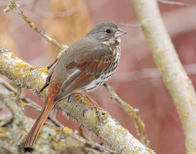 Sparrows, Fox