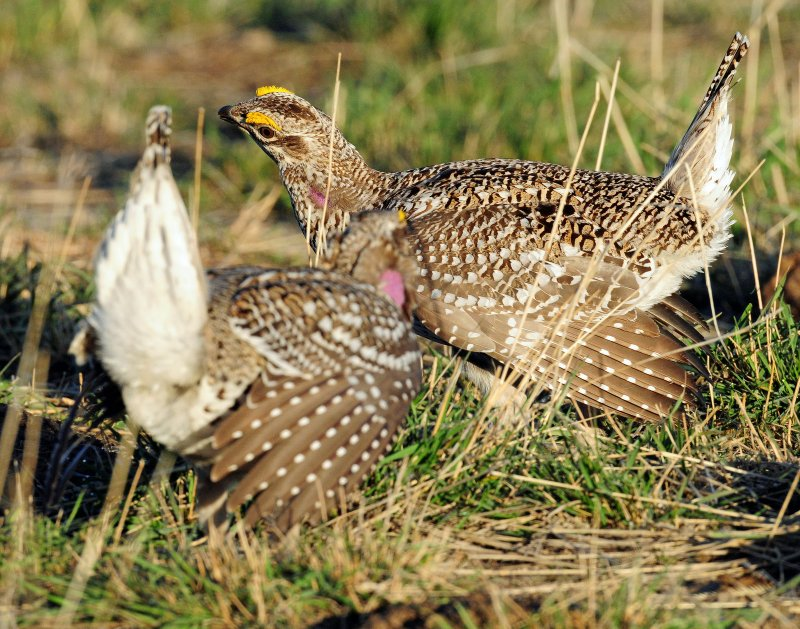 Grouse, Sharp-tailed