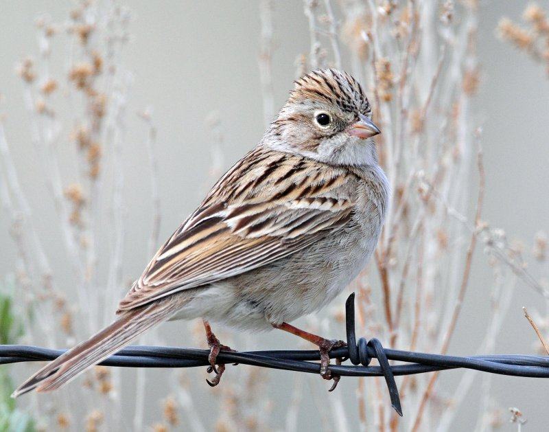 Sparrow, Brewers