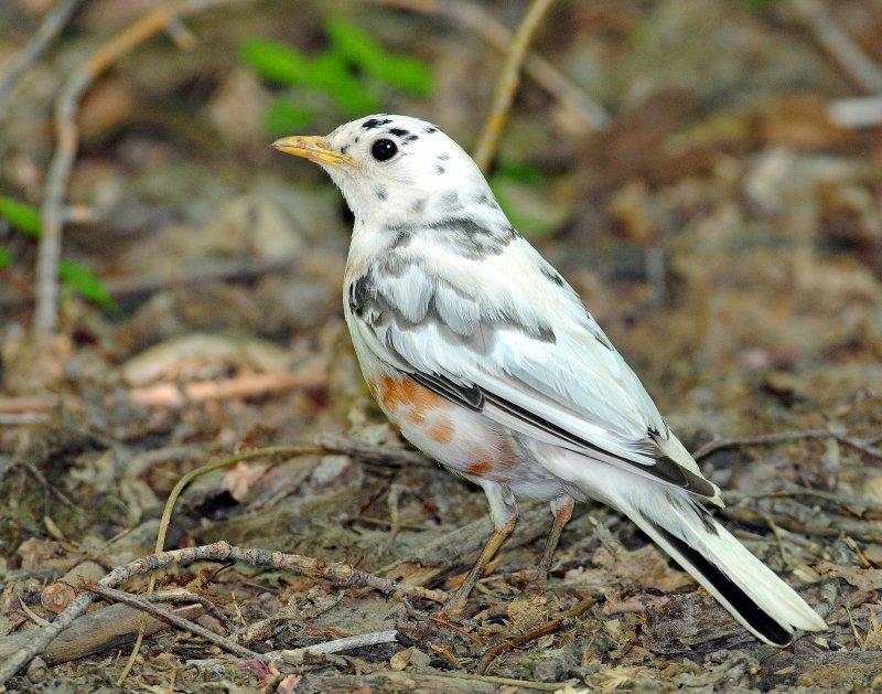 Robin, American (partial albino)