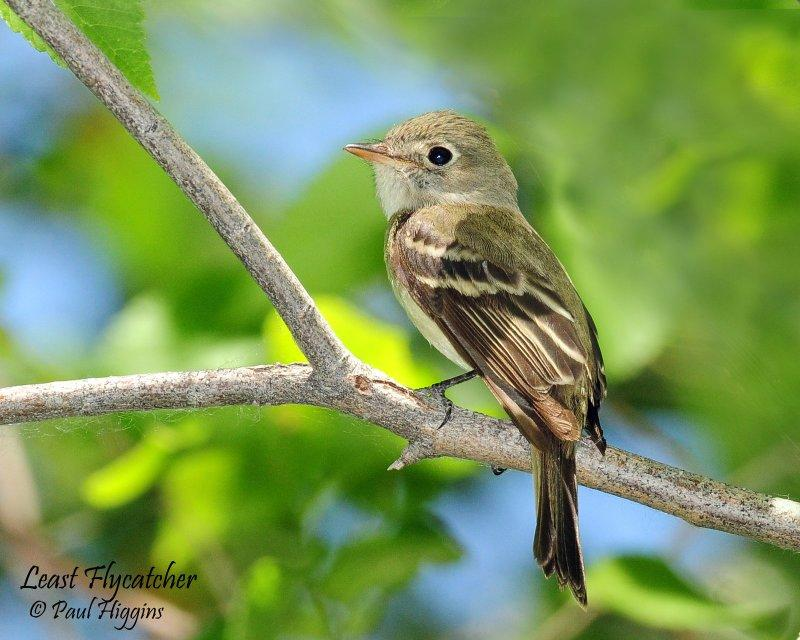 Flycatcher Least D-034.jpg