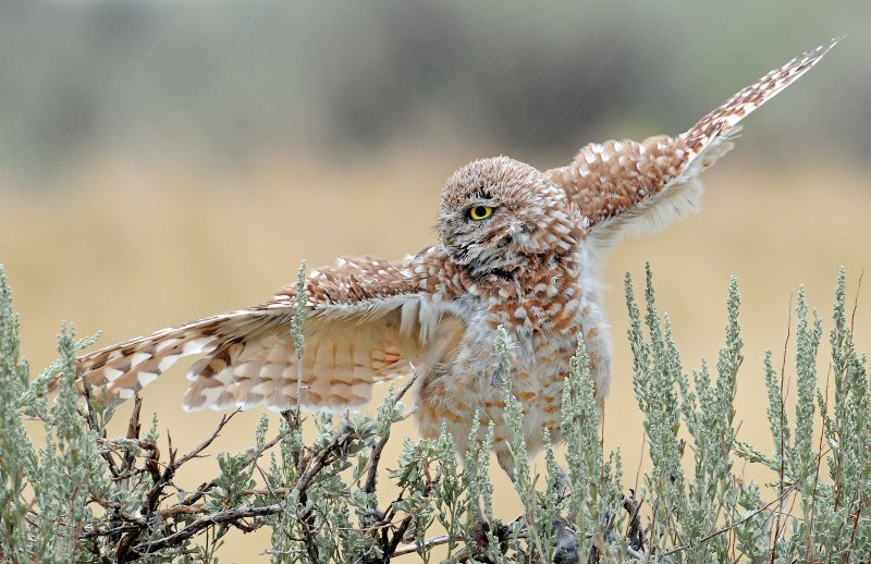 Owl, Burrowing (Male in the rain)