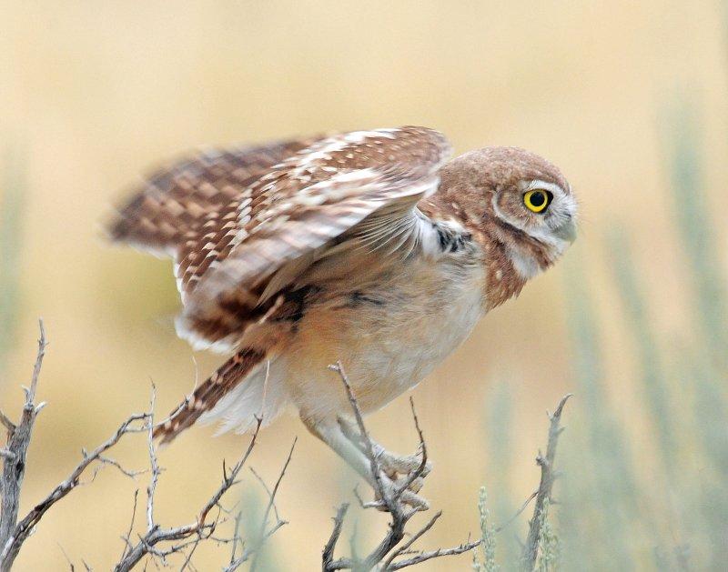 Owl, Burrowing (Fledgling)