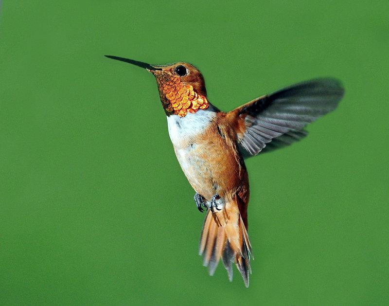 Hummingbirds, Rufous