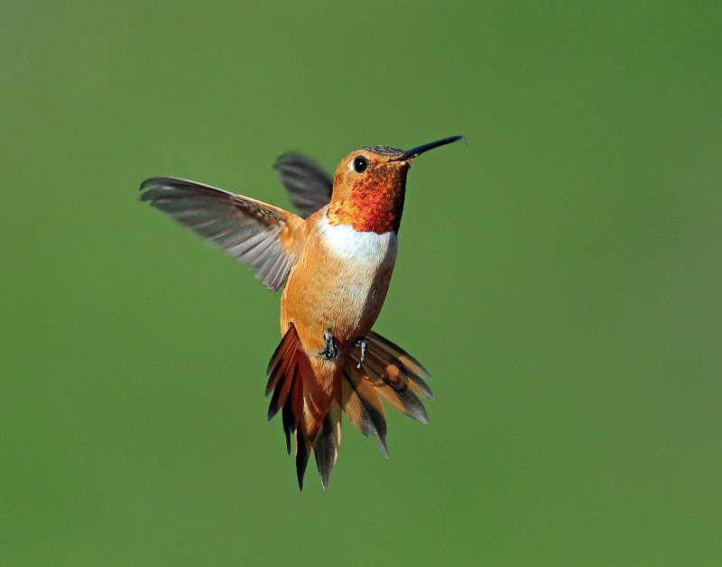 Hummingbird Rufous D-114 2.jpg