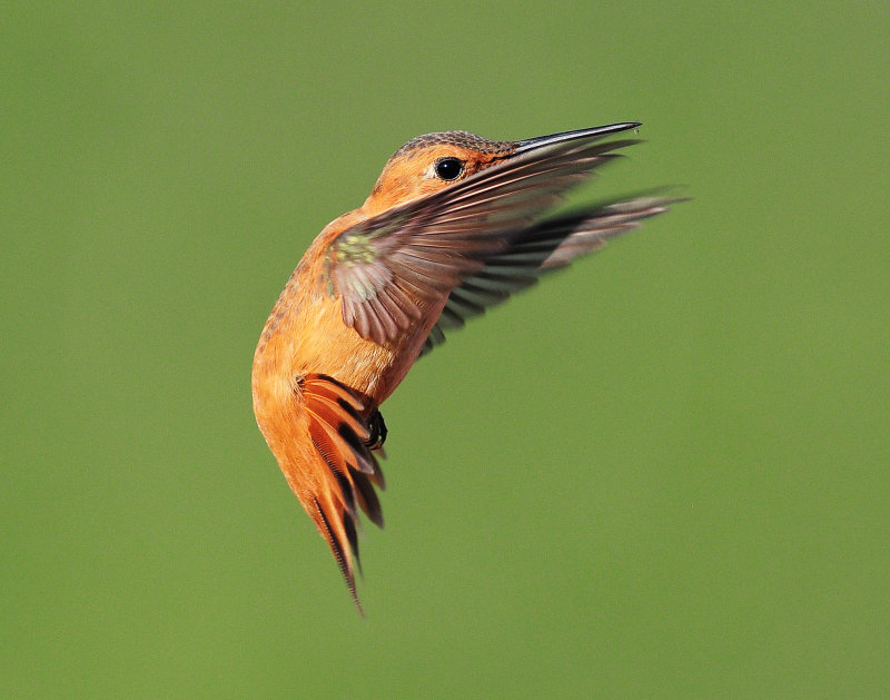 Hummingbirds, Rufous