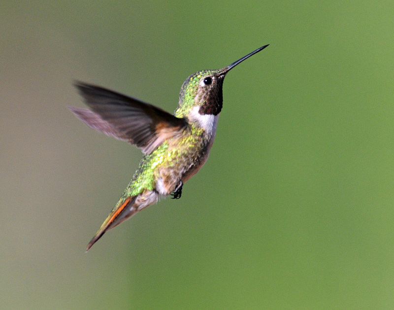 Hummingbirds, Broad-tailed