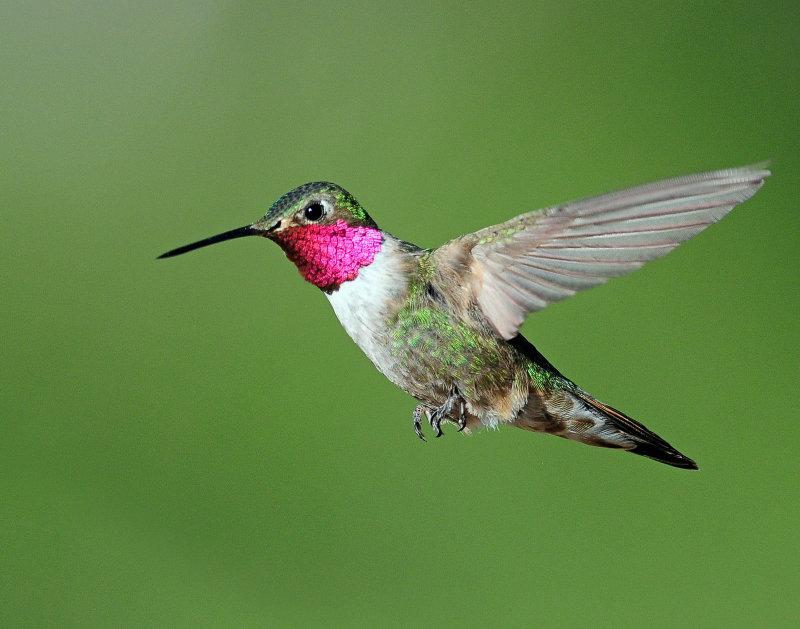 Hummingbirds, Broad-tailed