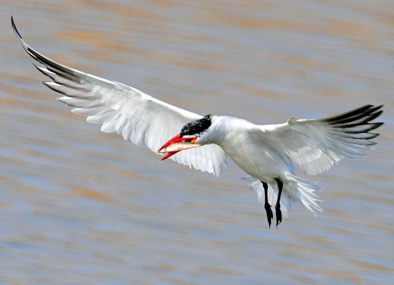 Tern,  Caspian