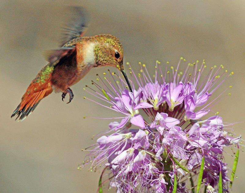 Hummingbird, Rufous