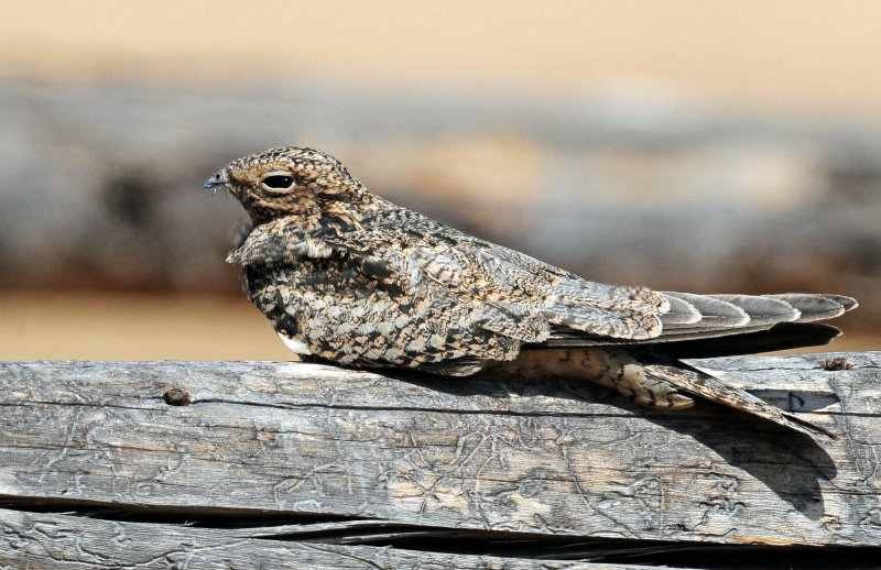 Nighthawk, Common