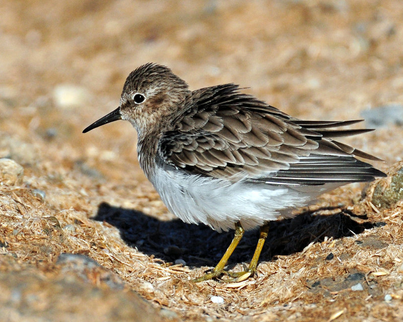Sandpipers, Least