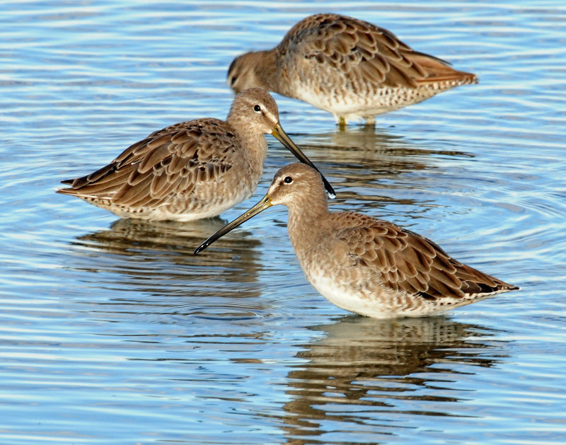 Dowitchers D-40.jpg